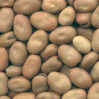 glossary_f/seed-Favabean-seeds.jpg