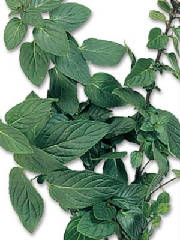 glossary_p/herb-peppermint.jpg