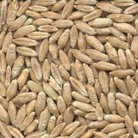 glossary_t/seed-Triticale-seeds.jpg